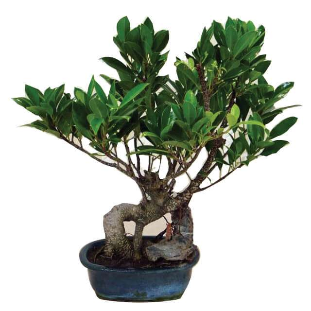 Aloha Bonsai