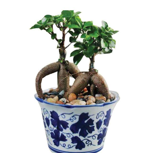 Regal Bonsai