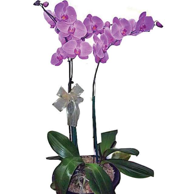 Two Pearled Orchid
